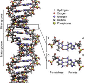 DNA model, with individual molecules